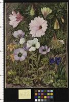 South African Sundews and other Flowers