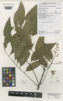 Isotype of Cupaniopsis cooperorum P.I.Forst. [family SAPINDACEAE]