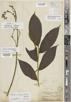 Isolectotype of Antidesma orthogyne (Hook.f.) Airy Shaw [family PHYLLANTHACEAE]