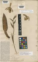 Isolectotype of Selenipedium kaieteurum N.E.Br. [family ORCHIDACEAE]