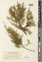 Juniperus virginiana L. var. silicicola (Small) A.E.Murray [family CUPRESSACEAE]