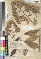 Holotype of Senecio hillii Greenm. [family COMPOSITAE]