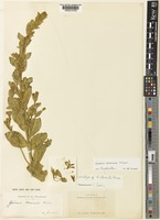 Holotype of Goodenia clementii K.Krause [family GOODENIACEAE]