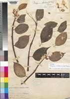 Isotype of Begonia molleri (C.D.C.) Warb. [family BEGONIACEAE]