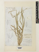 Holotype of Andropogon velutinus Hook. f. [family POACEAE]