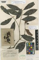 Isotype of Eugenia choapamensis Standl. [family MYRTACEAE]
