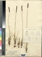 Syntype of Sacciolepis glaucescens Stapf [family POACEAE]