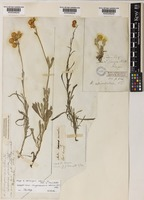 Isotype of Helichrysum odorum DC. [family COMPOSITAE]