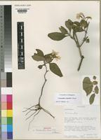 Holotype of Crossandra benoistii Vollesen [family ACANTHACEAE]