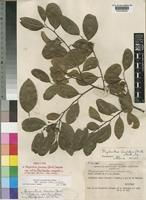 Neotype of Margaritaria discoidea (Baill.) G.L.Webster subsp. nitida (Pax) G.L.Webster [family EUPHORBIACEAE]