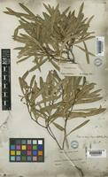 Type of Kageneckia angustifolia D.Don [family ROSACEAE]