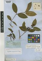 Holotype of Psychotria casiquiaria Müll.Arg. [family RUBIACEAE]