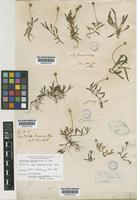 Lectotype of Spilanthes pusilla Hook. & Arn. [family COMPOSITAE]