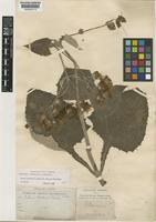 Holotype of Munnozia karstenii H.Rob. [family COMPOSITAE]