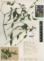 Isotype of Dicliptera felix J.R.I.Wood [family ACANTHACEAE]