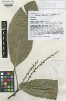 Isotype of Conchocarpus diadematus Pirani [family RUTACEAE]