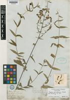 Holotype of Cuphea pinetorum Benth. [family LYTHRACEAE]