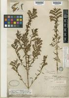 Syntype of Lamourouxia linearis Benth. [family SCROPHULARIACEAE]