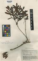 Isotype of Mearnsia scandens C.T.White [family MYRTACEAE]