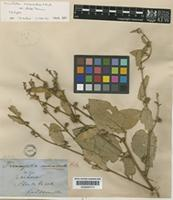 Holotype of Triumfetta micracantha F.Muell. var. albida Domin [family TILIACEAE]
