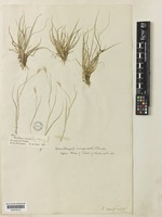Type of Danthonia unispicata (Thurb.) Munro ex Macoun [family POACEAE]