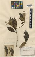 Isotype of Clethra papuana Schltr. [family CLETHRACEAE]
