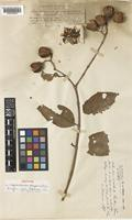 Isotype of Lagerstroemia quinquevalvis Koehne [family LYTHRACEAE]
