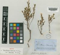 Isotype of Oenothera tubicula A.Gray var. demissa A.Gray [family ONAGRACEAE]