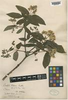 Type of Deutzia wilsonii Duthie [family HYDRANGEACEAE]