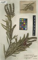 Holotype of Callistemon harkness unrecorded [family MYRTACEAE]