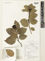 Isotype of Scolopia parkinsonii N.Balach., Gastmans & Chakrab. [family FLACOURTIACEAE]