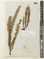 Lectotype of Polypodium khasyanum Hook. [family POLYPODIACEAE]