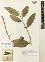 Holotype of Aporosa lucida (Miq.) Airy Shaw var. ellipsoidea Airy Shaw [family PHYLLANTHACEAE]