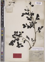 Lectotype of Breynia keithii Ridl. [family PHYLLANTHACEAE]
