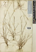 Type of Rottboellia formosa R.Br. [family POACEAE]