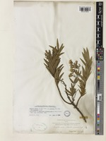 Isolectotype of Railliardia struthioloides A.Gray [family COMPOSITAE]
