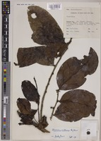 Holotype of Glochidion castaneum Airy Shaw [family PHYLLANTHACEAE]
