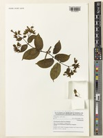 Isotype of Clerodendrum atlanticum Jongkind [family LAMIACEAE]