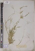 Cynodon dactylon (L.) Pers. [family POACEAE]
