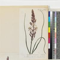 Anthericum canaliculatum published illustration from Curtis's Botanical Magazine