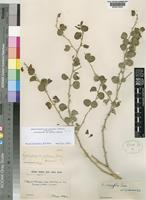 Holotype of Capparis spinosa L. var. pubescens Zohary [family CAPPARACEAE]