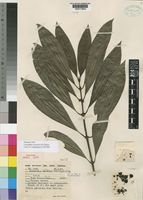 Holotype of Lasianthus seseensis M.Taylor [family RUBIACEAE]