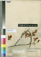 Syntype of Cassia goratensis Fresen. var. flavescens Hutch. ex Baker F. [family LEGUMINOSAE-CAESALPINIOIDEAE]