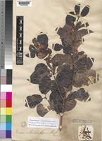 Isotype of Mascarenhasia lisianthiflora unrecorded var. baronica Dubard [family APOCYNACEAE]