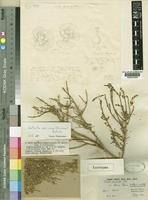 Lectotype of Salsola dendroides Pall. var. africana Brenan [family CHENOPODIACEAE]