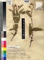 Isotype of Eucalyptus conglomerata Maiden & Blakely [family MYRTACEAE]