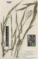 Isotype of Panicum appressifolium Swallen [family POACEAE]