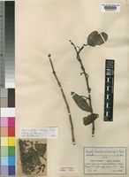 Type of Loranthus rubripes Engl. & K.Krause [family LORANTHACEAE]
