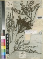 Lectotype of Selago densiflora Rolfe [family SCROPHULARIACEAE]