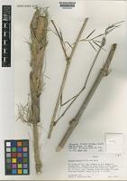 Isotype of Chusquea mimosa McClure & Smith subsp. australis L.G. Clark [family POACEAE]